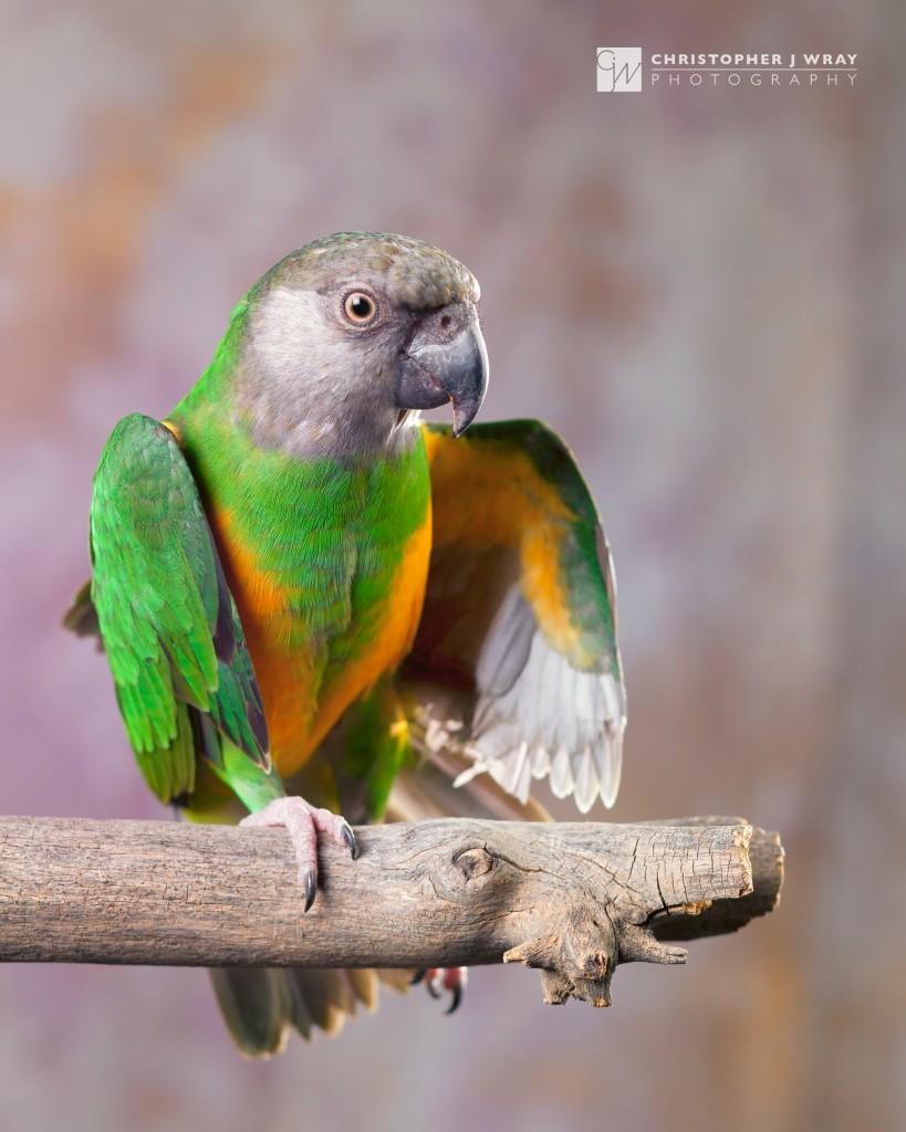 Walter, Senegal Parrot